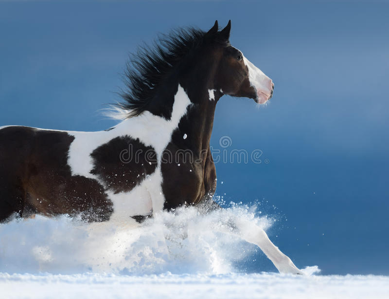 American Paint horse run gallop in winter. Side view royalty free stock images
