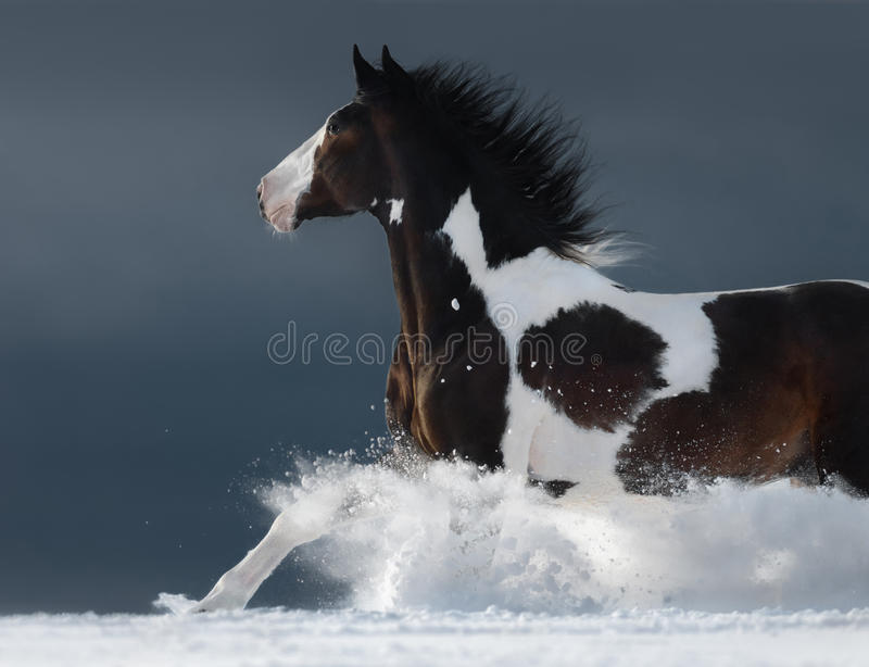 American Paint horse running gallop across winter snowy field. American Paint horse running fast gallop across a winter snowy field. Side view stock photo