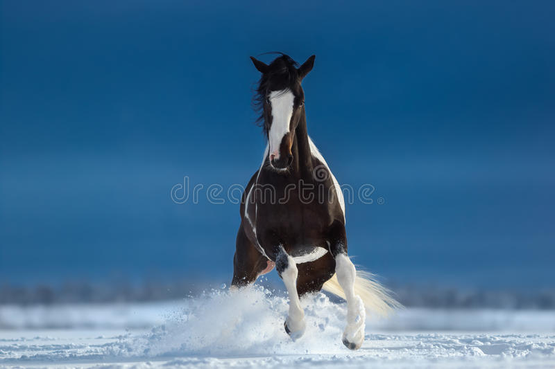 American Paint horse on snowfield. Front view. American Paint horse on snowfield stock photo