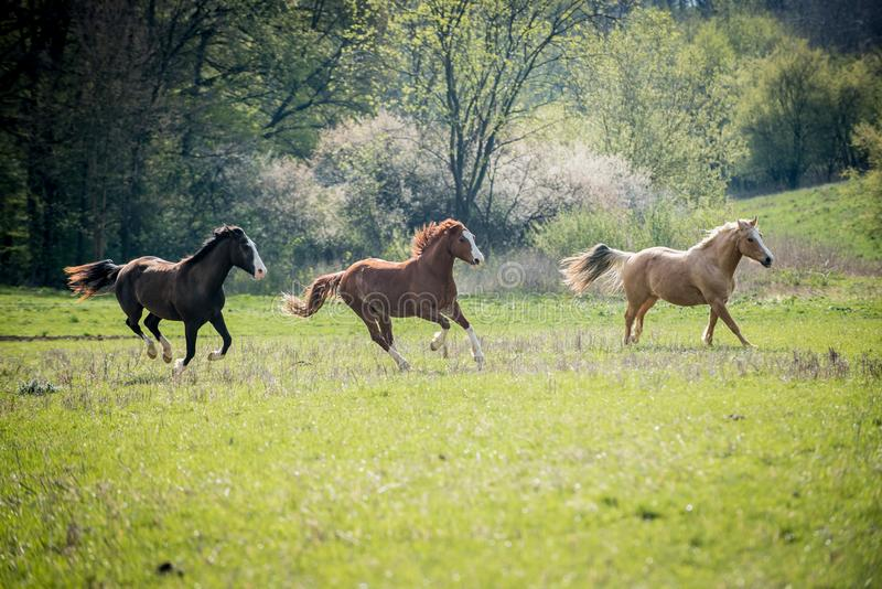 American Paint horses running on the green meadow. American Paint horses running on the green spring meadow royalty free stock photo