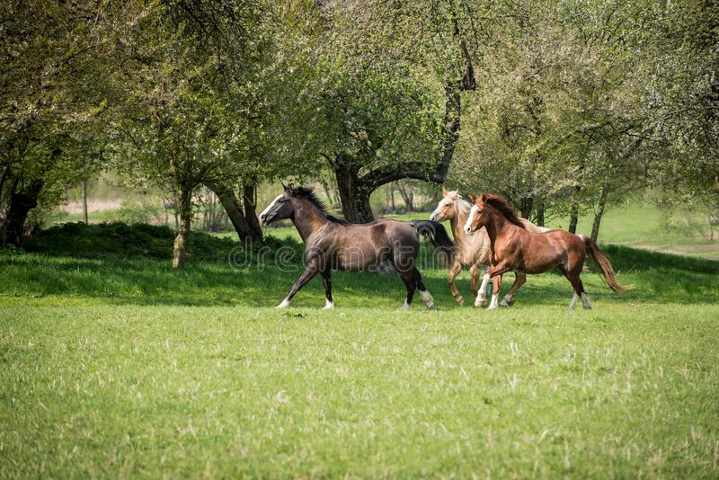 American Paint horses running on the green meadow. American Paint horses running on the green spring meadow royalty free stock images