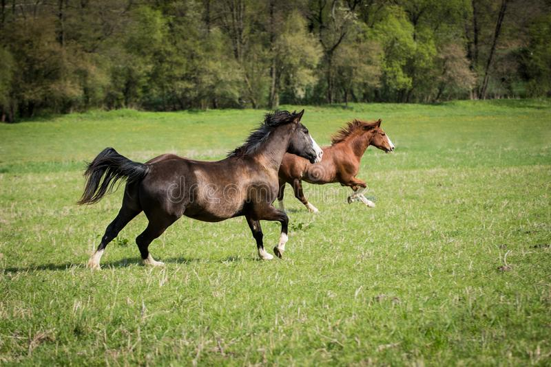 American Paint horses running on the green meadow. American Paint horses running on the green spring meadow stock photography