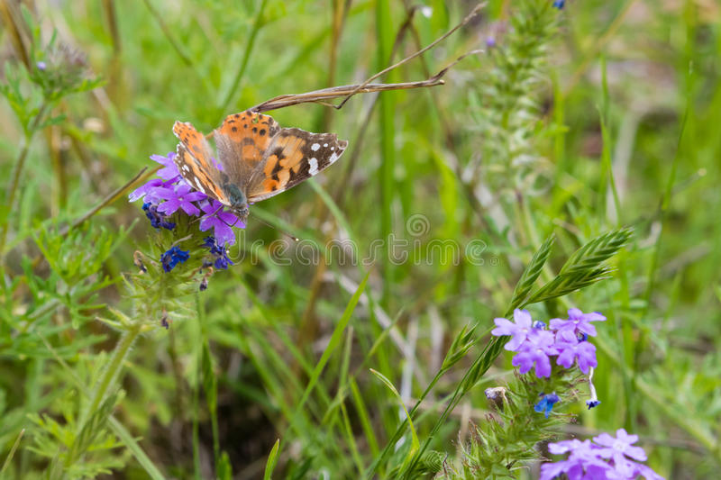 American Painted Lady Butterfly royalty free stock photo