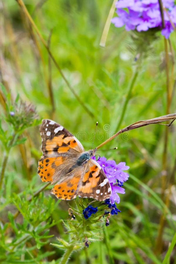 American Painted Lady Butterfly royalty free stock image