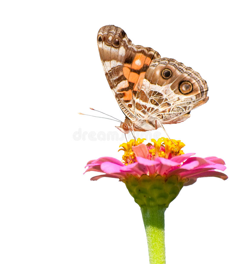 American Painted Lady feeding on a pink flower royalty free stock photos