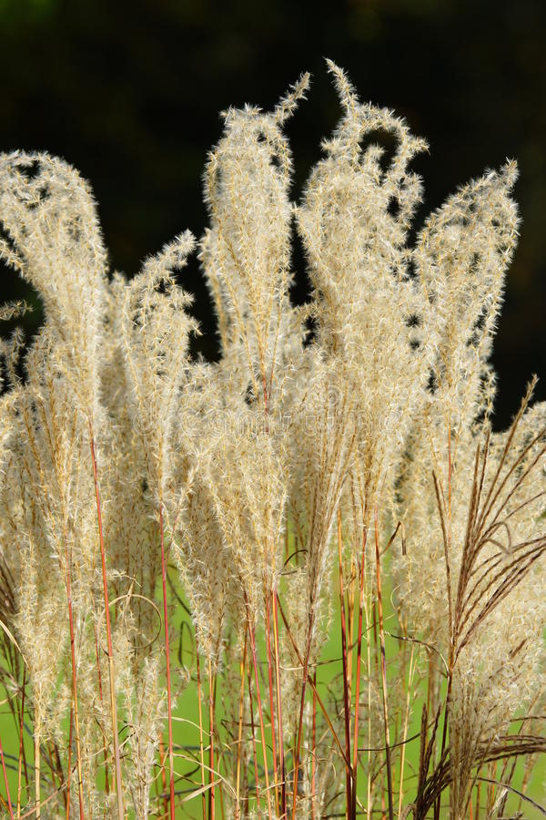 American pampas grass. In an ornamental garden royalty free stock photo