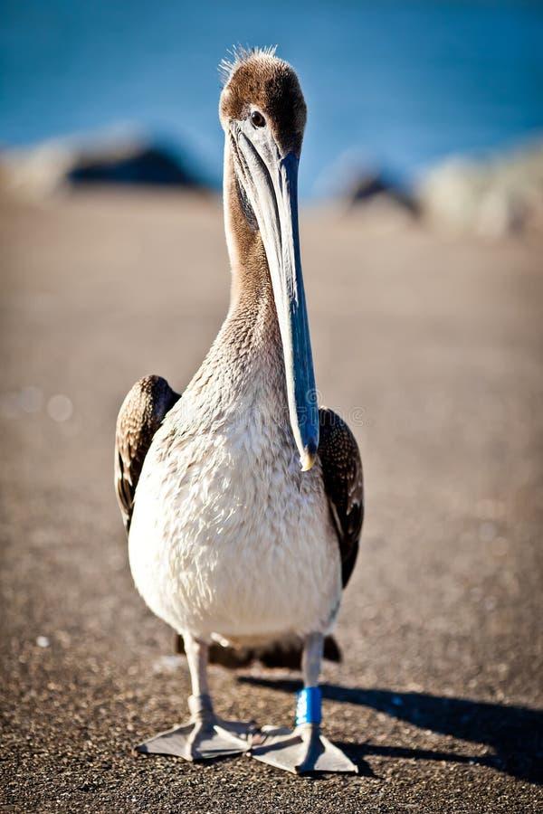 Free American Pelican Stock Images - 24019994