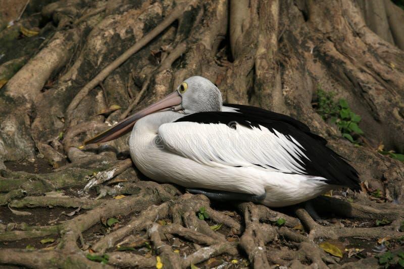 Download American pelican rests stock image. Image of water, brown - 27546561