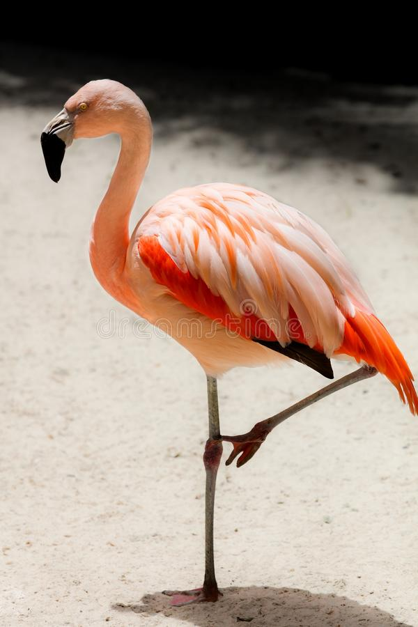 American Pink flamingo resting on one leg. Direct overhead light, high noon. Taken with 300mm lens stock images