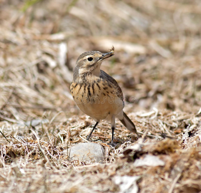 Download American Pipit stock image. Image of pipits, songbird - 31925629