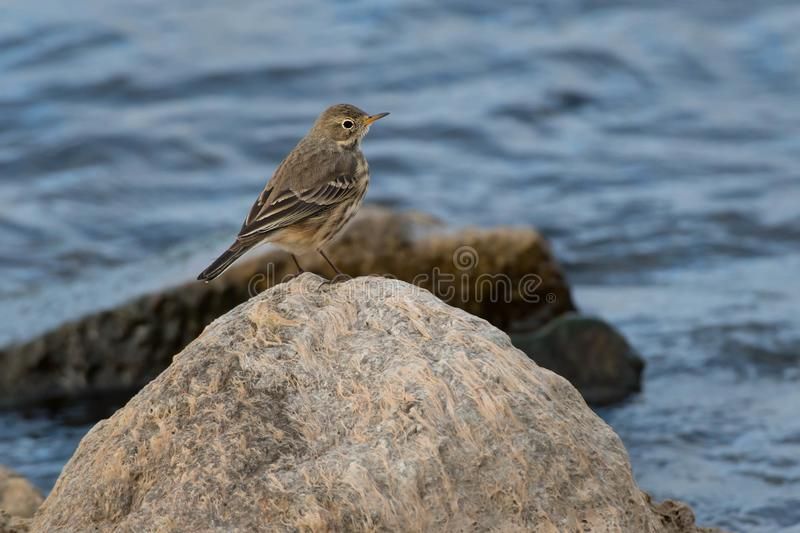 Download American Pipit stock image. Image of passeriformes, nature - 104238617