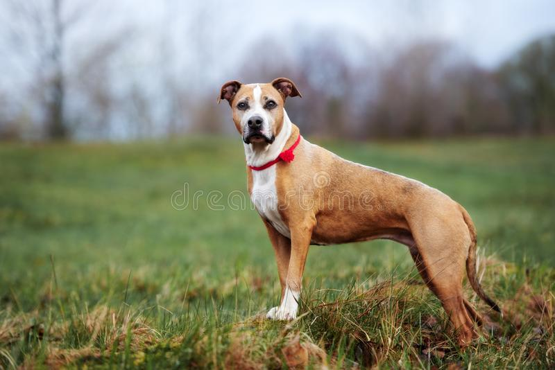 American pit bull terrier dog posing outdoors royalty free stock images