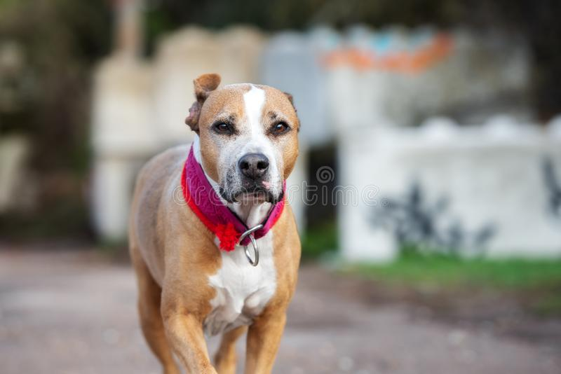 American pit bull terrier dog on a walk royalty free stock photos