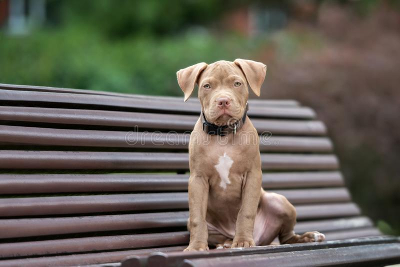 American pit bull terrier puppy posing on a bench royalty free stock photos