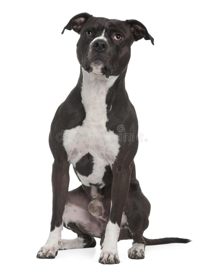 American Pit Bull Terrier, 5 years old, sitting in front of whit royalty free stock photo