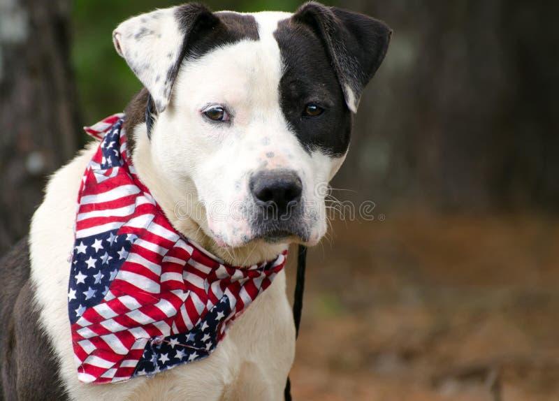 American Pitbull Bulldog mixed breed dog with American Flag Bandana. American Bulldog mixed breed dog, Walton County Animal Control, humane society adoption royalty free stock photos