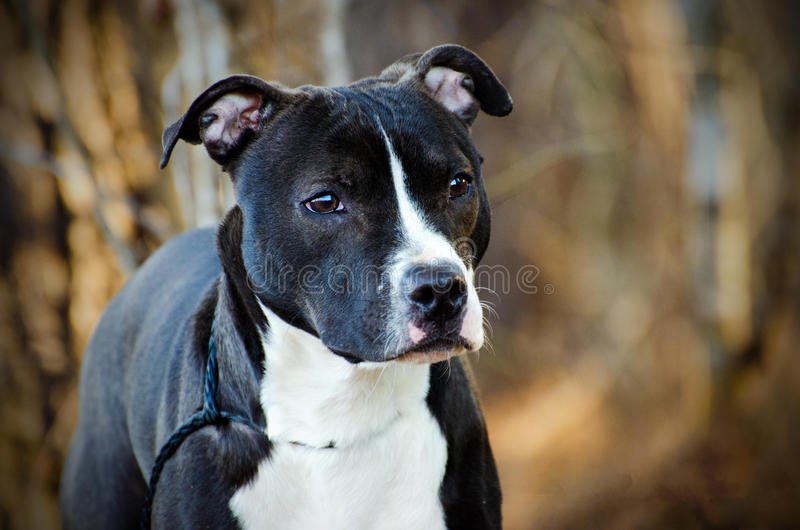 American Pitbull Terrier Bulldog dog royalty free stock image