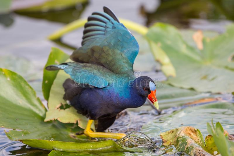 American purple gallinule, Anhinga Trail, Everglades National Park stock photos