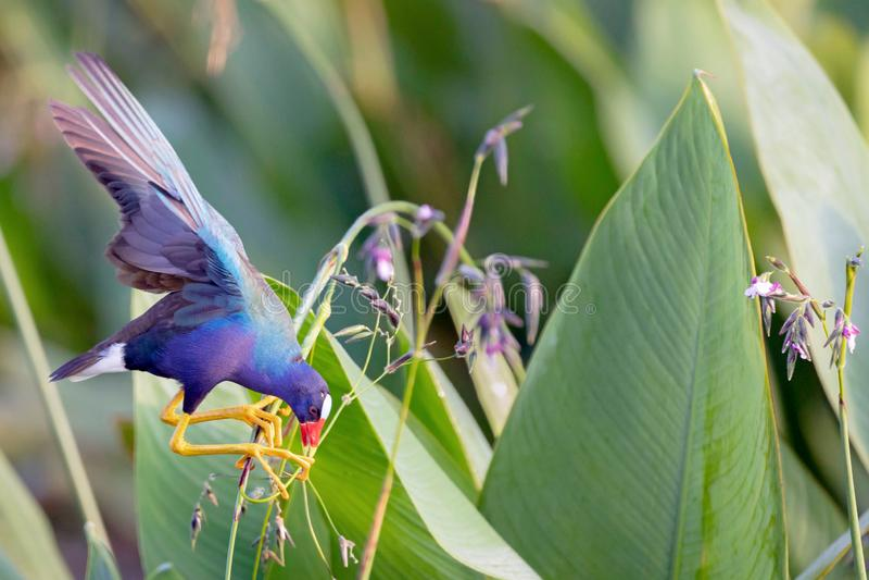 An American Purple Gallinule perches precariously stock photo