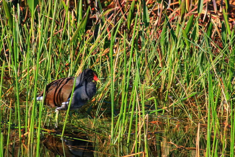 American purple gallinule. Wetlands in Delray beach, Florida, Palm beach stock photography