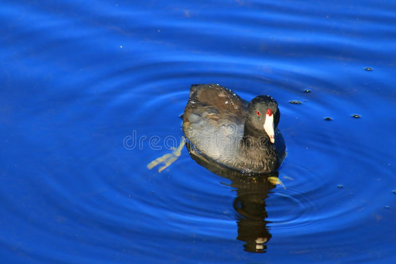 American purple gallinule stock photo