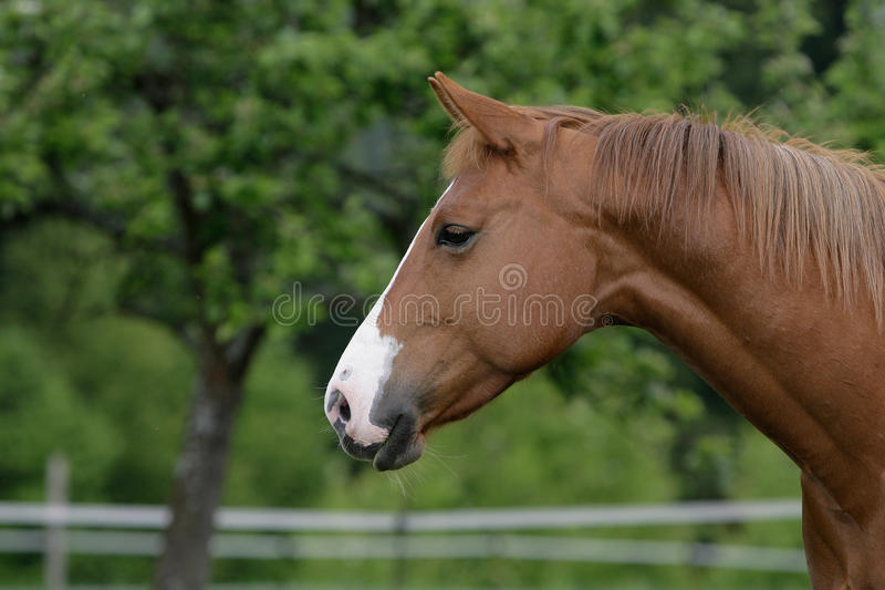 American quarter horse royalty free stock images