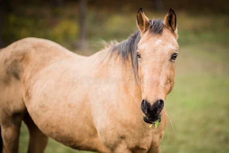 American Quarter Horse eating grass stock photos
