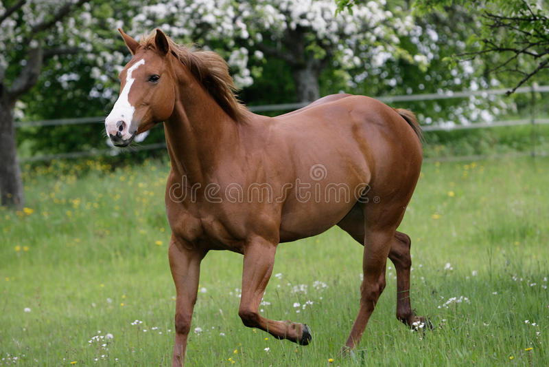 American Quarterhorse stock photos
