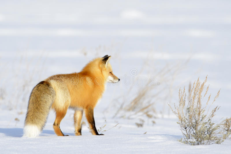 American Red Fox looking for prey royalty free stock photos