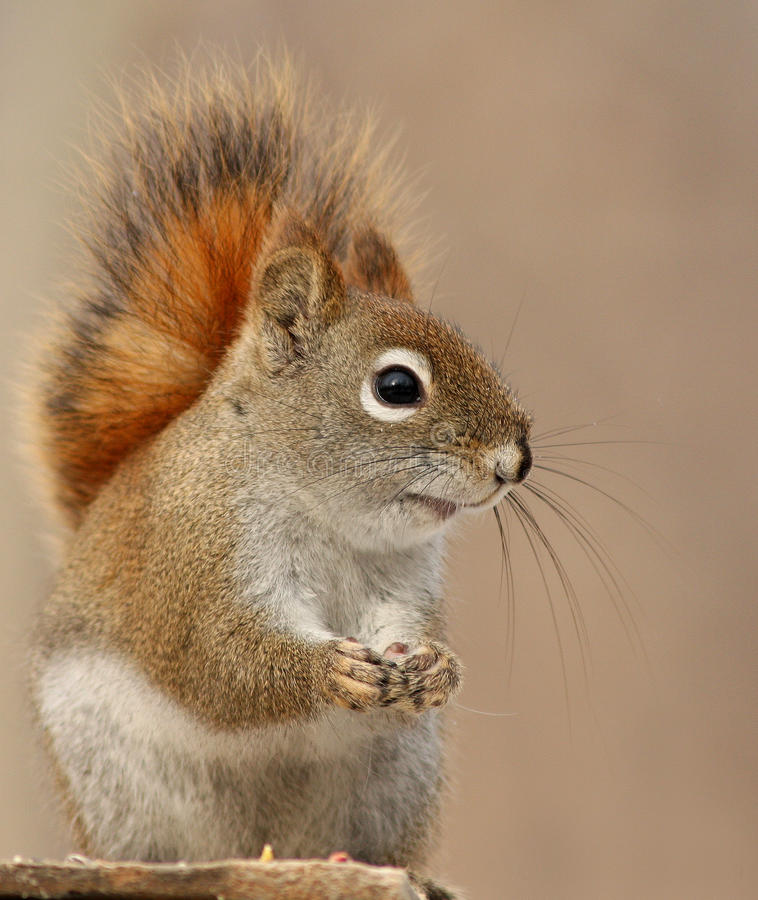 American Red Squirrel Stock Photos