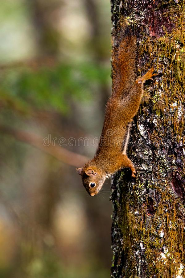 American Red Squirrel Climbing Down a Pine Tree in Alaska, United States royalty free stock photo