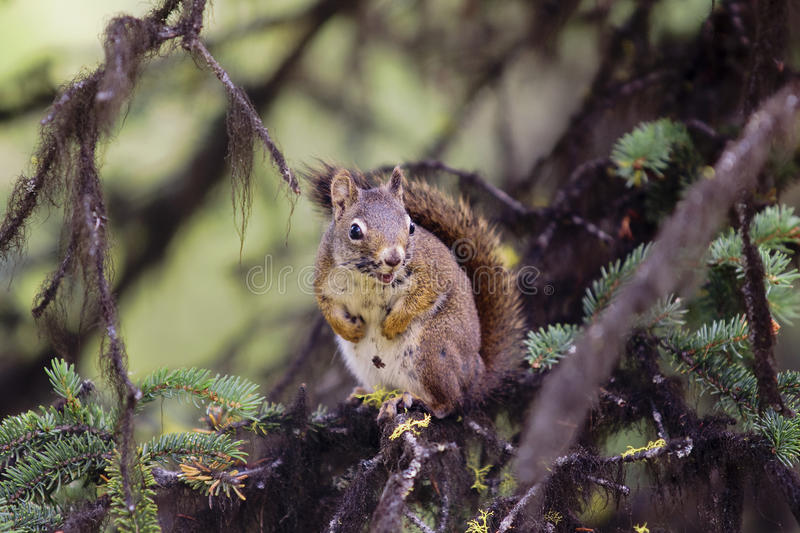 American red squirrel (Tamiasciurus hudsonicus) royalty free stock photo