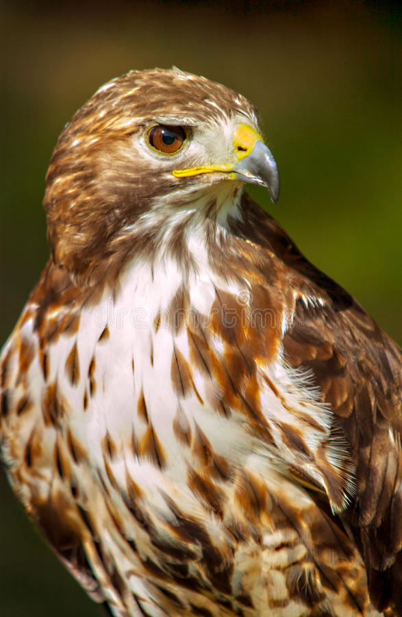 American red-tailed hawk stock photo