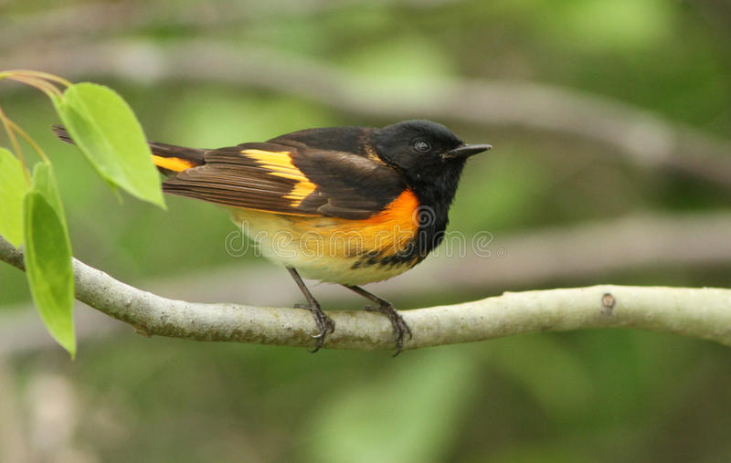 Download American Redstart Stock Photography - Image: 19526082