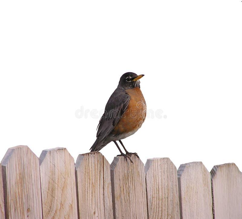 Free American Robin Stock Image - 122311