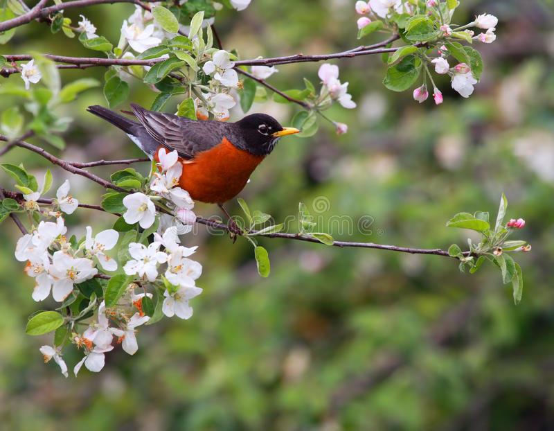 American robin. Bird perched in blooming apple tree