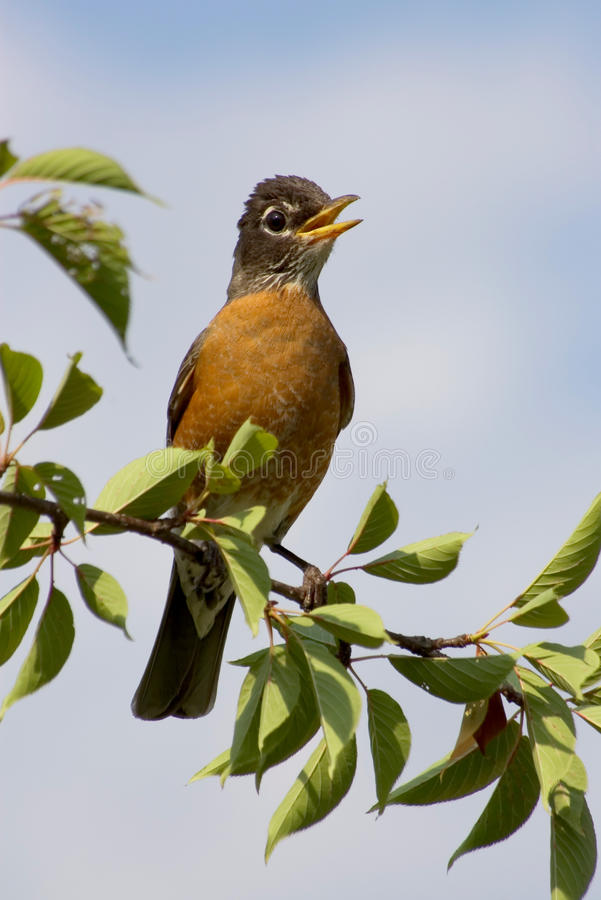 Download American robin stock photo. Image of color, countryside - 14714892