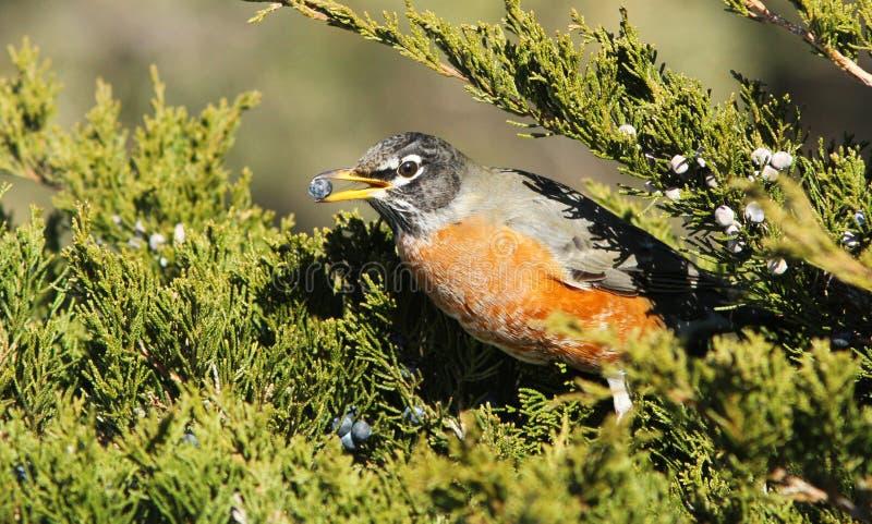 Download American robin stock photo. Image of turdus, birdwatching - 23378076