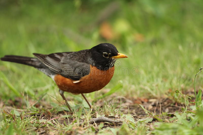 Download American Robin stock image. Image of turdidae, dirt, feathers - 25146805