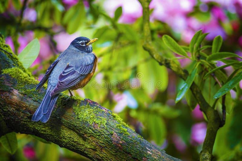 Download American Robin stock image. Image of breast, birds, bird - 99639983