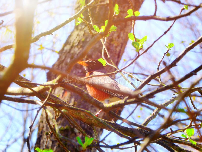 An american robin bird perched on the tree branch. In early spring New England Connecticut United States royalty free stock photos