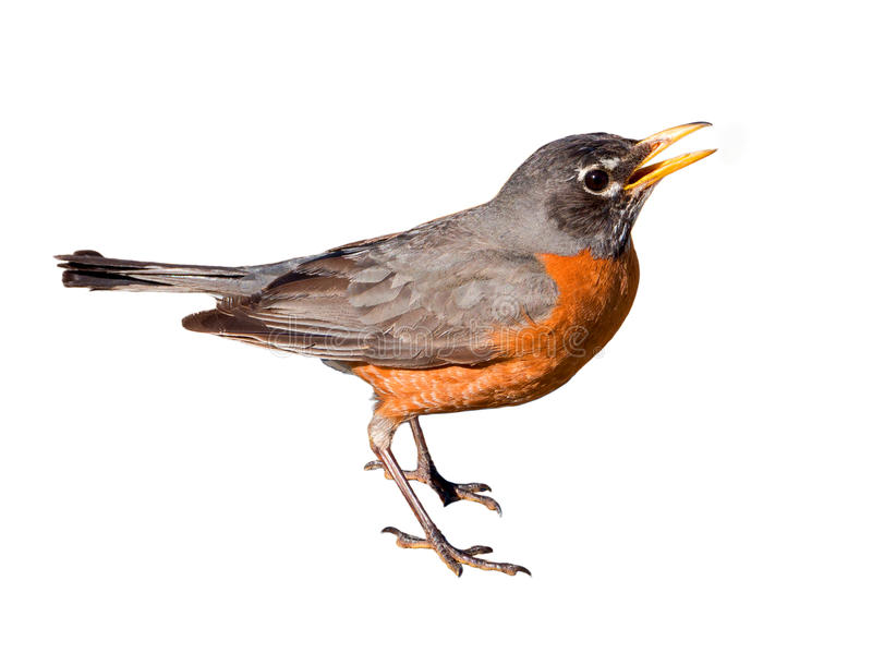 American Robin Isolated on White Background royalty free stock photos