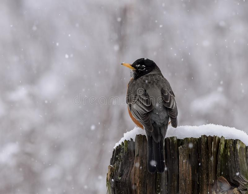 American Robin in a late spring with falling snow royalty free stock photography