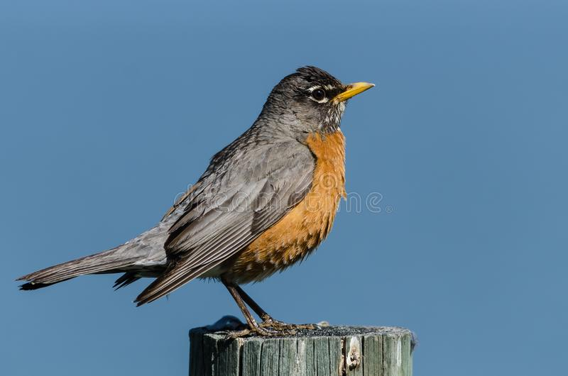American Robin Perched atop a Weathered Wooden Fence Post royalty free stock images