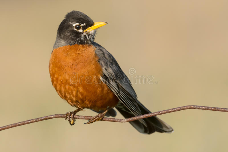 Download American Robin stock photo. Image of perching, outside - 53824726