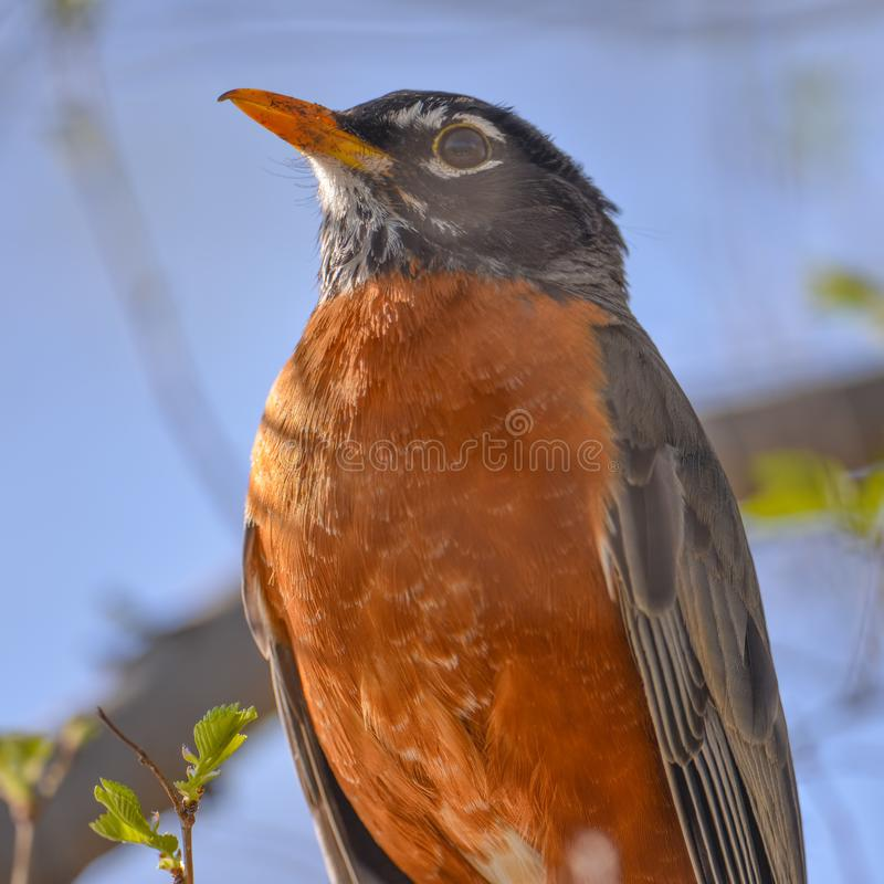 American robin portrait perched on a tree branch - beautiful sunlit blue bokeh background - Minnesota Valley National Wildlife Ref. Uge royalty free stock images