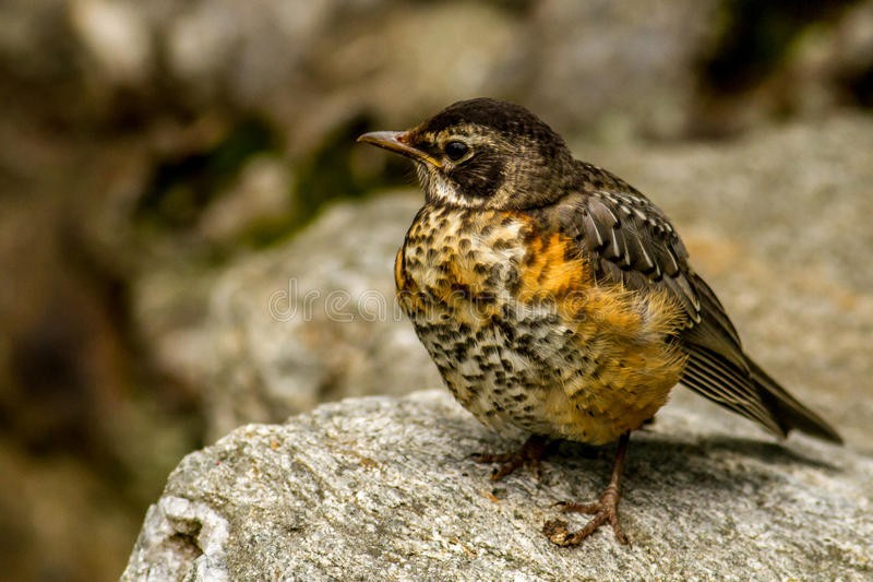 American Robin on a rock stock images