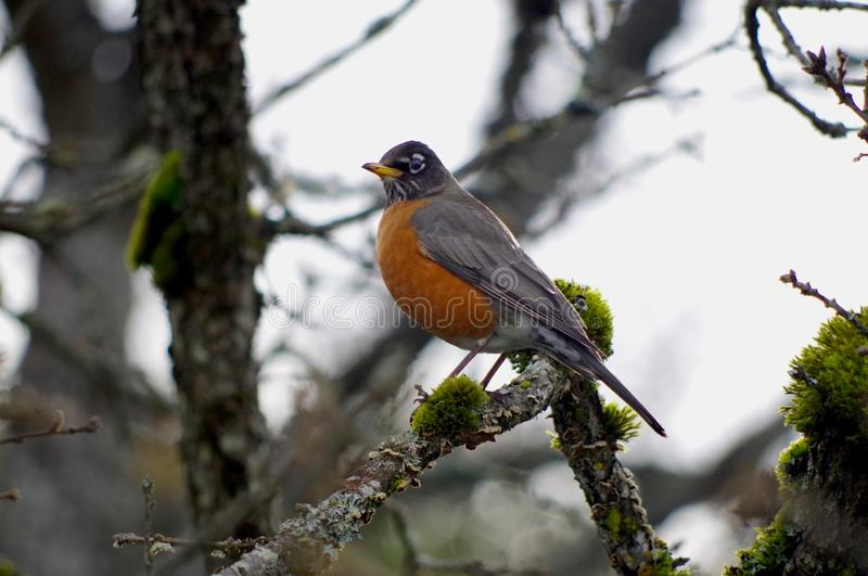 American Robin sits on lichen covered branch in winter light stock photo