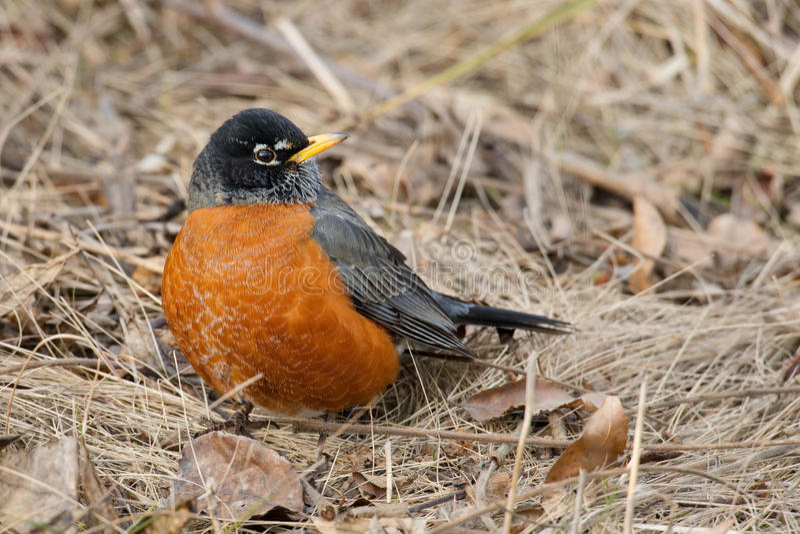 American Robin stock photo