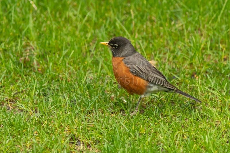 American Robin sucht Nahrung stockfotos
